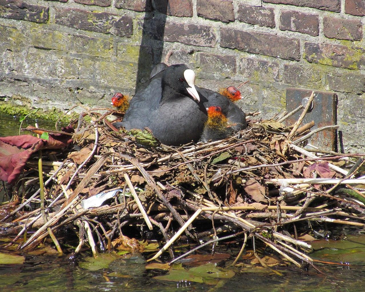 Coot with chicks, Hofvijver, the Hague, 30 May 2011