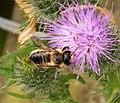 Megachilidae (29244129407).jpg