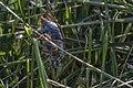 Meikever - June bug (Melolontha melolontha) (18484972374).jpg