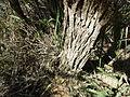 Melaleuca depressa (bark).JPG