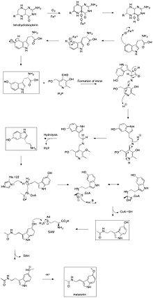 melatonin wikipedia