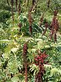 Melianthus major KirstenboshBotGard09292010I.JPG