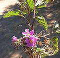 Melochia tomentosa, the Teabush flower (9906135693).jpg