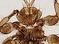 Melophagus ovinus (YPM IZ 093758).jpeg