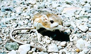 Xerocole - Image: Merriam's kangaroo rat (Dipodomys merriami)