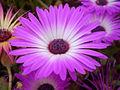 Mesembryanthemum 0.6 R.jpg