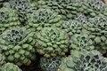 Mexican Fire Cracker - Echeveria setosa var. ciliata (40273640254).jpg