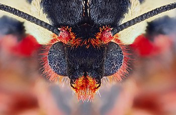 Microcosmic portrait of a garden tiger moth Arctia caja.jpg