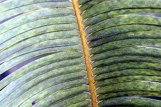 Microcycas - Image: Microcycas calocoma 3zz