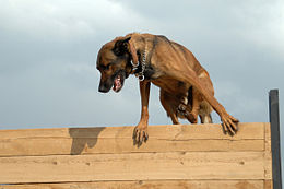 Military Working Dog Diego running an obstacle course in Kirkuk.jpg