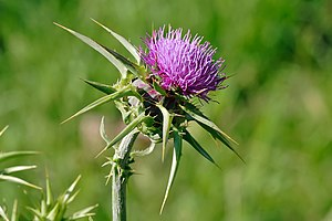 Silybum - Flowerhead of Silybum marianum