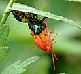 Molting Jewel Bug 02.jpg