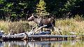 Moose (Alces alces), Juvenile - Algonquin Provincial Park, Ontario 02.jpg