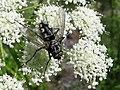 Mosca - Tachinidae (14699594857).jpg