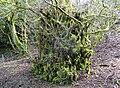 Moss covered lime tree, Gleniffer Braes Country Park, Renfrewshire.jpg