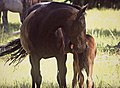 Mother Horse and Yearling-Ochoco (25365999582).jpg