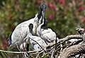 Mother Ibis and Two Chicks-1 (6122545987).jpg