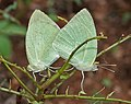 Mottled Emigrant (Catopsilia pyranthe) mating in Hyderabad, AP W IMG 9455.jpg