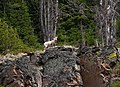 Mountain Sheep 1 (8044131605).jpg