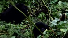 File:Mountain gorilla (Gorilla beringei beringei) and his family.webm