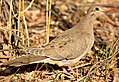 Mourning Dove on Seedskadee National Wildlife Refuge (29773504341).jpg