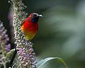 Mrs. Gould's Sunbird.jpg