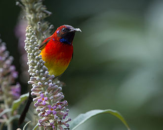 Doi Pha Hom Pok National Park - Mrs. Gould's sunbird