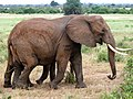 Multilegged elephant. Tsavo East National Park - panoramio.jpg