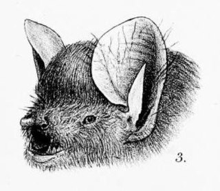 Round-eared tube-nosed bat species of mammal
