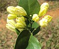 Murraya paniculata 09.JPG