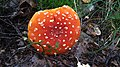 Mushroom on Swedish forest floor 3.jpg