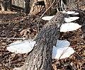 Mushrooms Company Mill Trail Umstead SP 0115-1 (3347266156).jpg