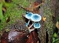 Mycena cyanocephala Singer 885013 crop.jpg