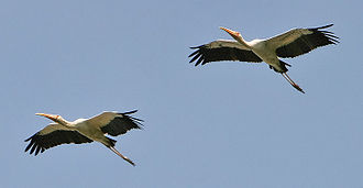 Milky stork - Image: Mycteria cinerea 20031003