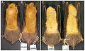 Myotis midastactus dorsal ventral.jpg