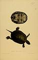 N148 Sowerby & Lear 1872 (emys orbicularis).jpg