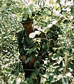 NARA 111-CCV-351-CC33059 1st Infantry Division RTO searching jungle Operation Crimp 1966.jpg