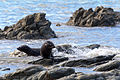NZ280315 Kaikoura Fur Seal 02.jpg