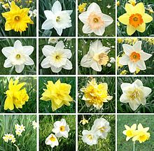 Narcissus cultivars have a wide range of colours, sizes and proportions of corona to perianth