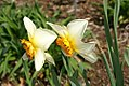 Narcissus Churchfield 0zz.jpg