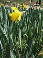 Narcissus pseudonarcissus5.jpg