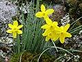 Narcissus rupicola Habitat 2011-3-09 PtoNiefla SierraMadrona.jpg