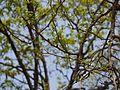 Naringi crenulata (5656331867).jpg