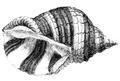 Natural History - Mollusca - Purpura.png