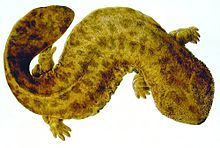Naturalis Biodiversity Center - Andrias japonicus - Japanese giant salamander - Siebold Collection.jpg