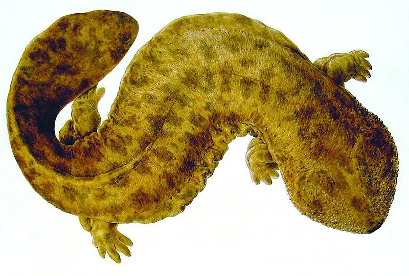 File:Naturalis Biodiversity Center - Andrias japonicus - Japanese giant salamander - Siebold Collection.jpg