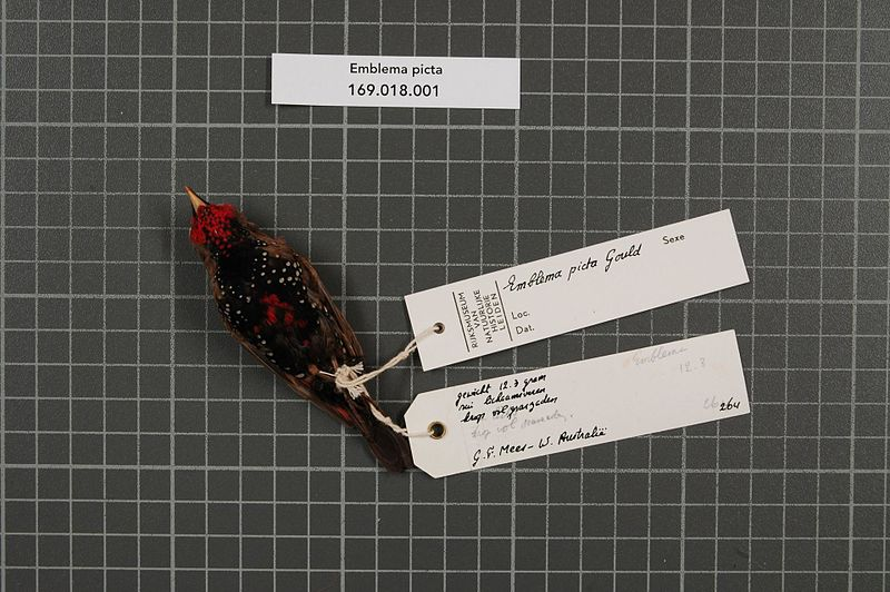 File:Naturalis Biodiversity Center - RMNH.AVES.54622 2 - Emblema picta Gould, 1842 - Estrildidae - bird skin specimen.jpeg