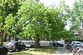 Naturdenkmal Nr. 52 Weißer Maulbeerbaum in Babelsberg Nord.jpg