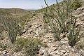 Near Cornucopia Draw - Flickr - aspidoscelis (16).jpg
