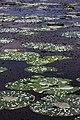 Nenuphar, Tissa Lake, Shri Lanka.jpg